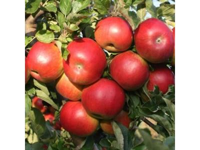 Jablká odroda IDARED